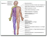 ant-dermatome