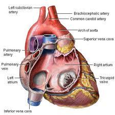 KOENZIM Q10 – CoQ10 – čuvar srčane funkcije