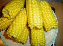 kukuruz-secerac